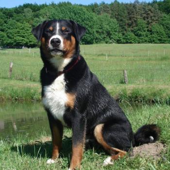Appenzeller Sennenhund VDH Landesverband Hessen e.V.